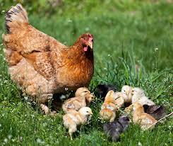 chickenschicks-1424947585443